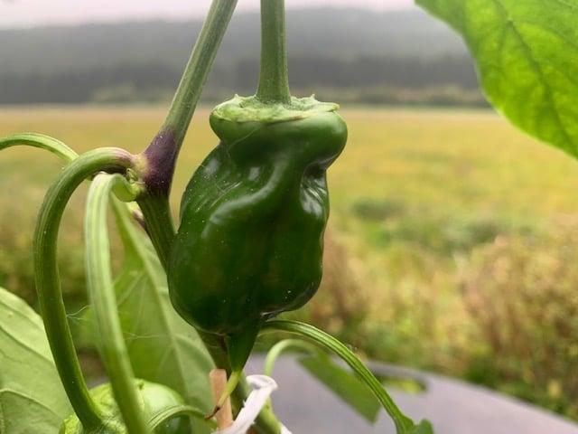 Chilischoten - Verschiedenen Chilisorten und der Anbau von Chili