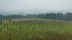 Hanf - uralte Pflanze als nachhaltiger Rohstoff der Zukunft