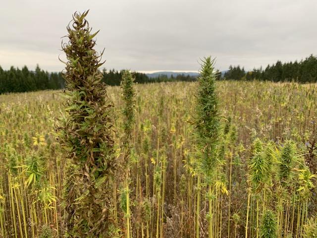 THC Gehalt und THC-Wert von Cannabis: Was bedeutet das?