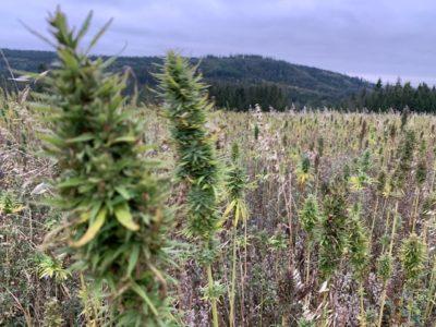 Medizinalhanf - Cannabis Medikamente in der modernen Medizin