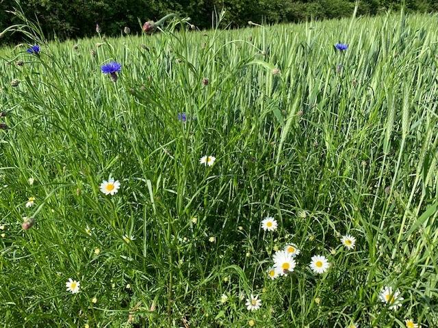 Wildblumenwiesen - Rettet die Bienen und Insekten mit Wildblumenmischungen