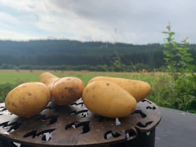 Die Kartoffel (Solarum tuberosum) ist ein wichtiges Lebensmittel