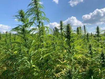 Vorteile einer Legalisierung von Cannabis ohne Modellprojekte